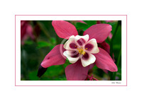 Columbine (out of stock)