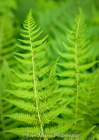 Ferns at Acadia National Park