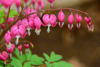 Bleeding Hearts 4.28.17-6