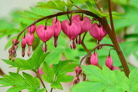 Bleeding Hearts 4.28.17-13