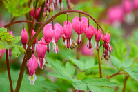 Bleeding Hearts 4.28.17-20