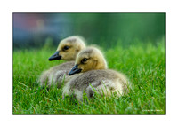 Goslings Greeting Card