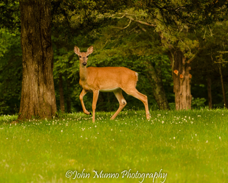 Connecticut wildlife photography of White Tail Deer