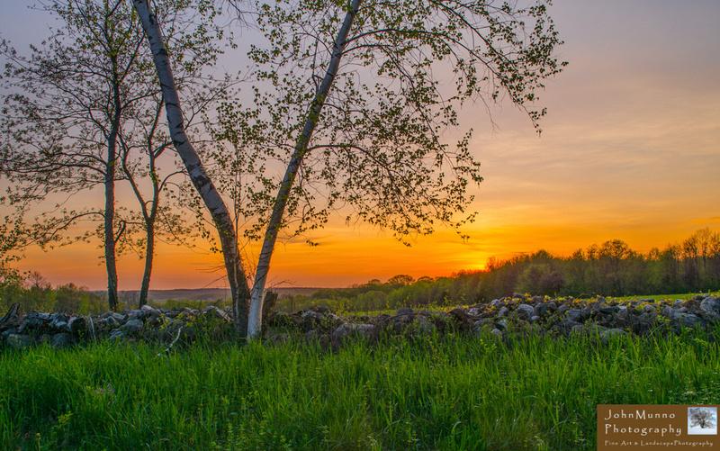 Sunset through the birch trees